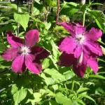 Clematis, sun-loving vine.