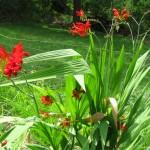 Crocosmia - Lucifer plant