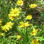 Bright yellow flowers…Coreopsis or Tickseed.